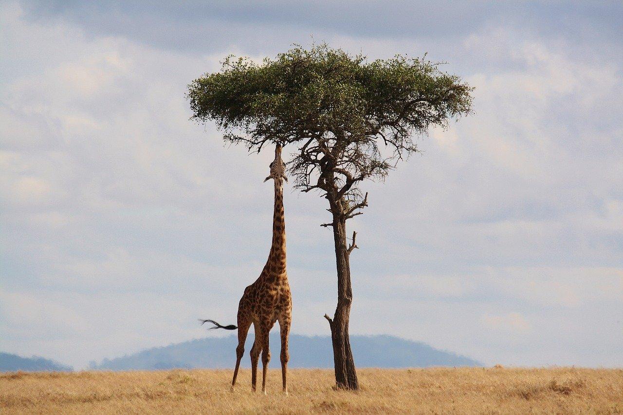 girafa e sua altura
