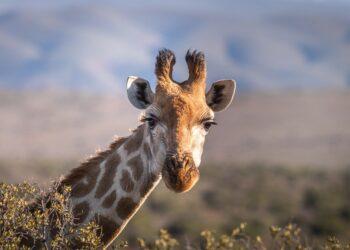girafas e raios