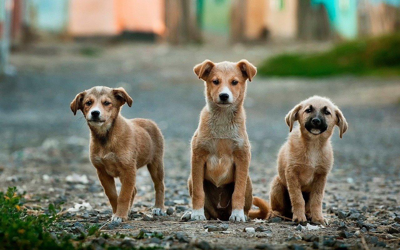 idade dos cães