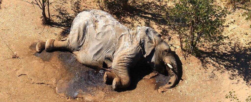 morte de elefantes em Botswana foi causada por envenenamento