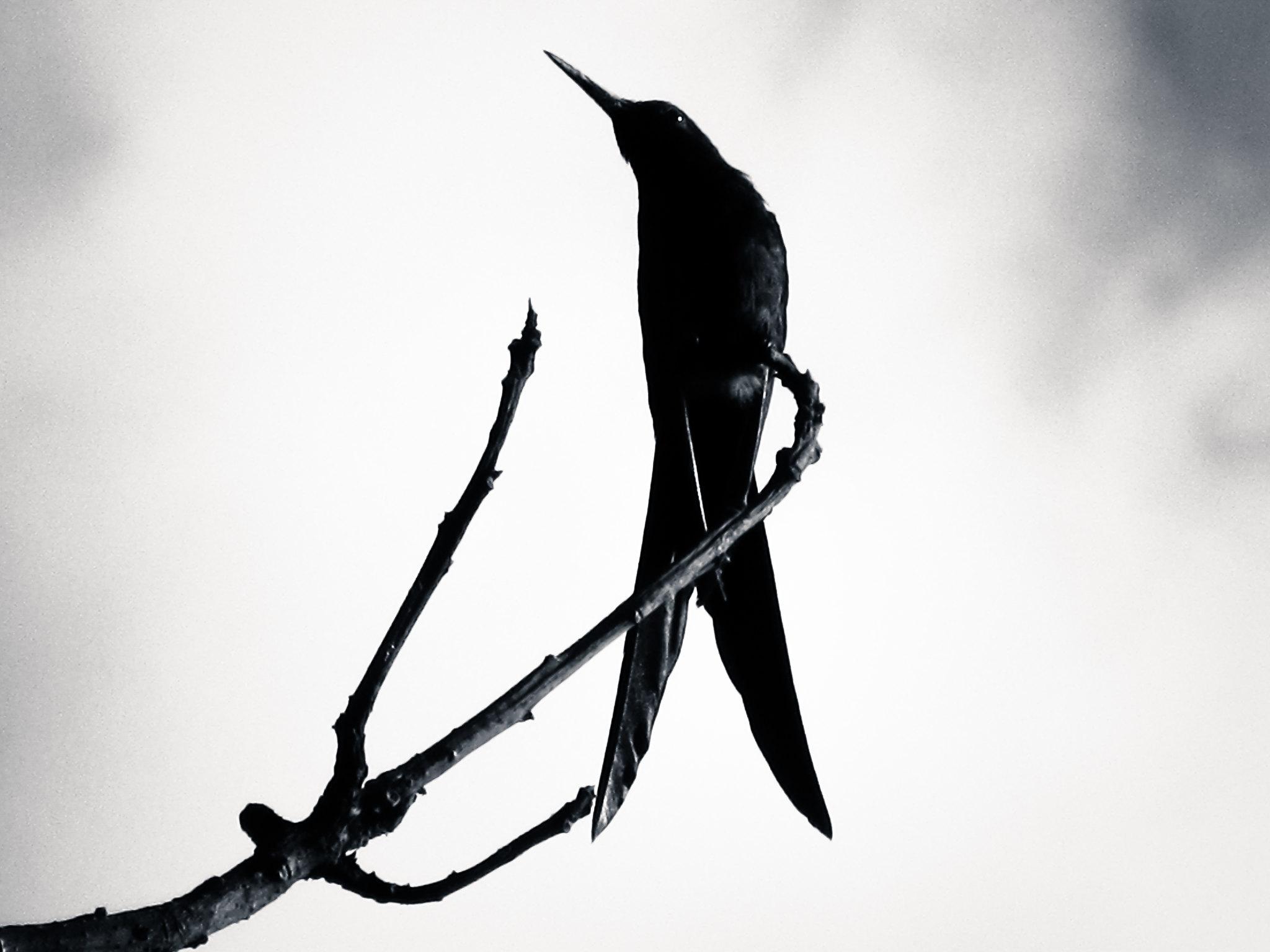 pássaro preto