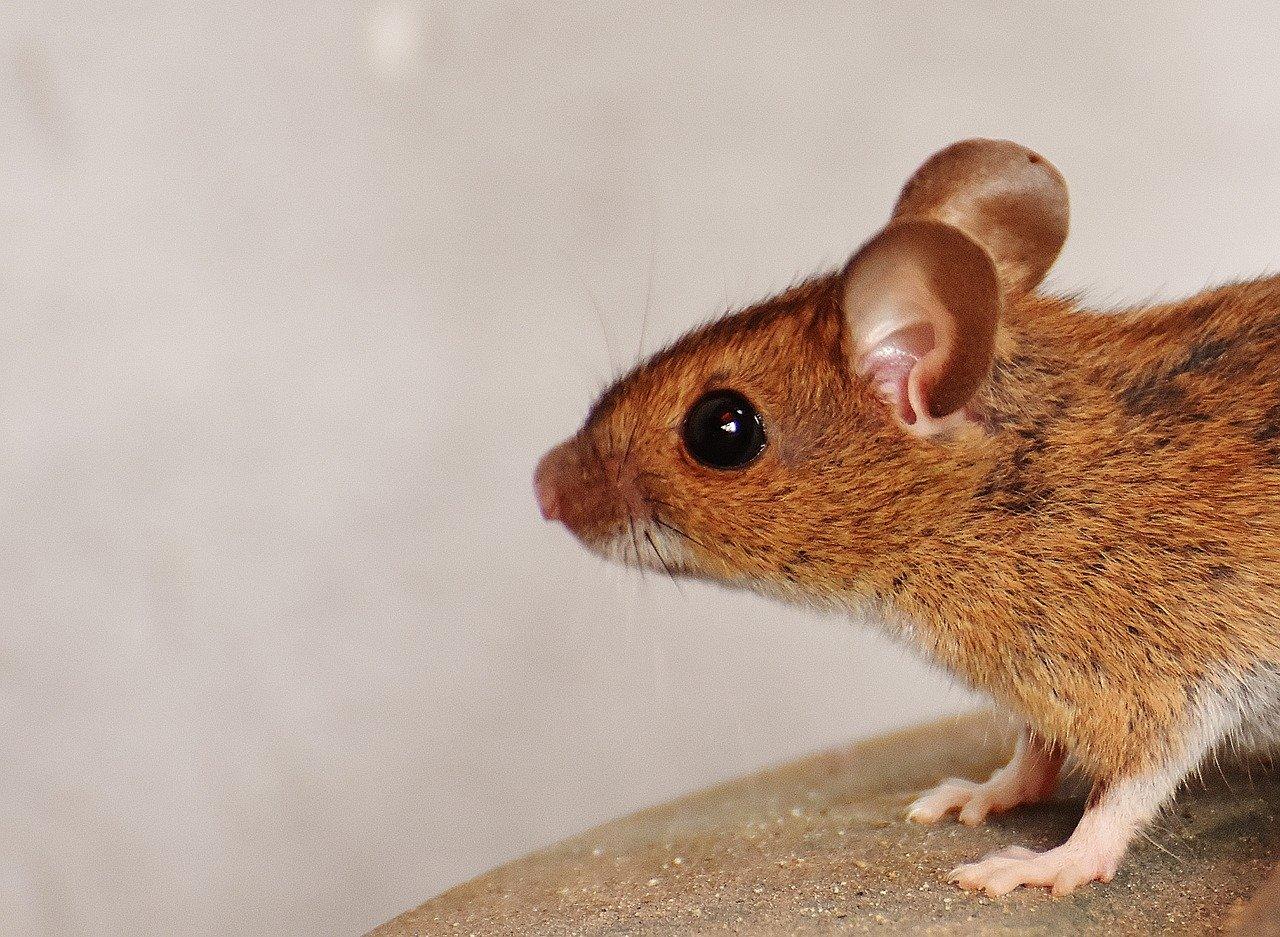 teste em ratos