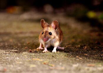 Ratos evitam ferir outros ratos