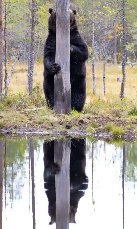 urso escondido