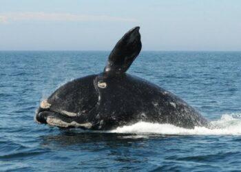 Com apenas centenas restantes, a baleia-franca-do-atlântico-norte está seriamente em risco de extinção. (PA Media)