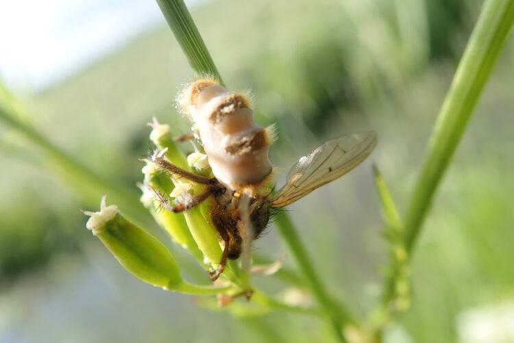 Fungo parasita utilizando o cadáver de uma mosca parasitada (anbalemans)