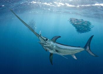 Espadartes estão atacando tubarões no Mar Mediterrâneo