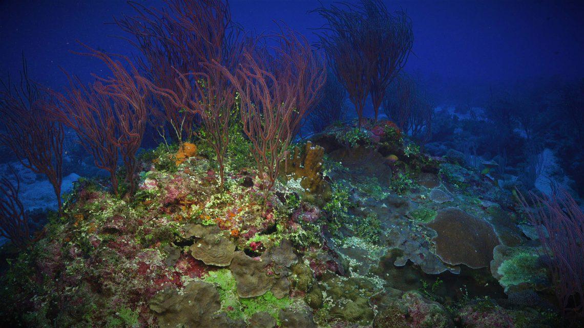 Diversas espécies foram descobertas na mesma missão que encontrou o massivo recife de corais.