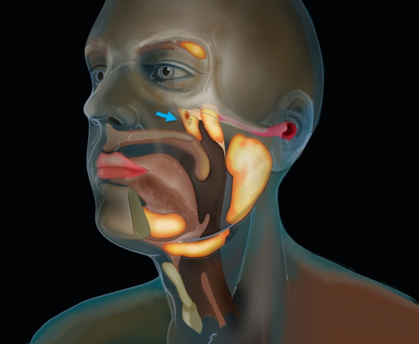 glândula tubária