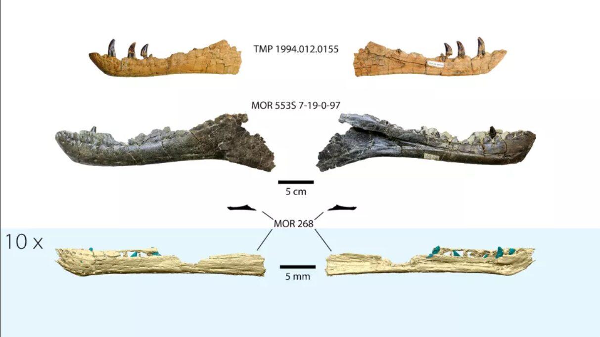 fósseis de tiranossauro bebê