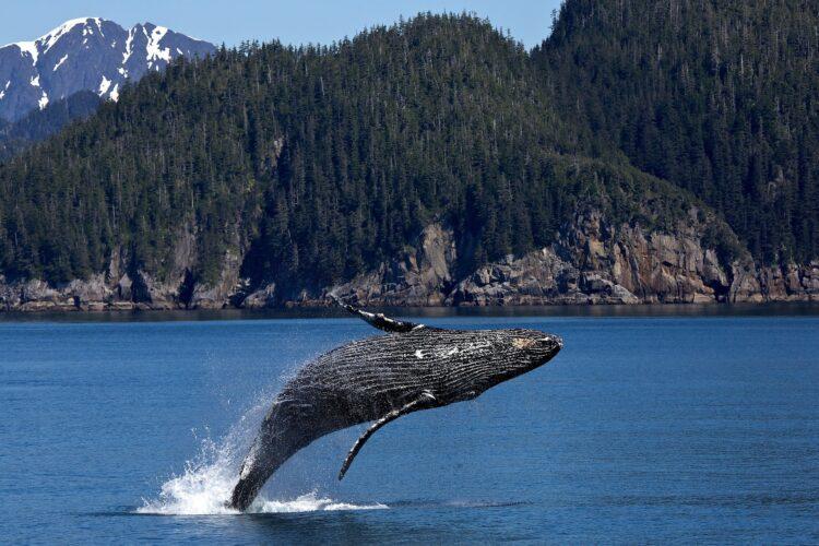 A evolução das baleias foi bastante rápida e pouco convencional. Evidências ligam mamíferos terrestres a esses cetáceos. (Imagem de skeeze por Pixabay)