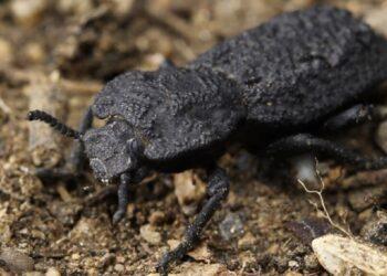 inseto besouro de ferro