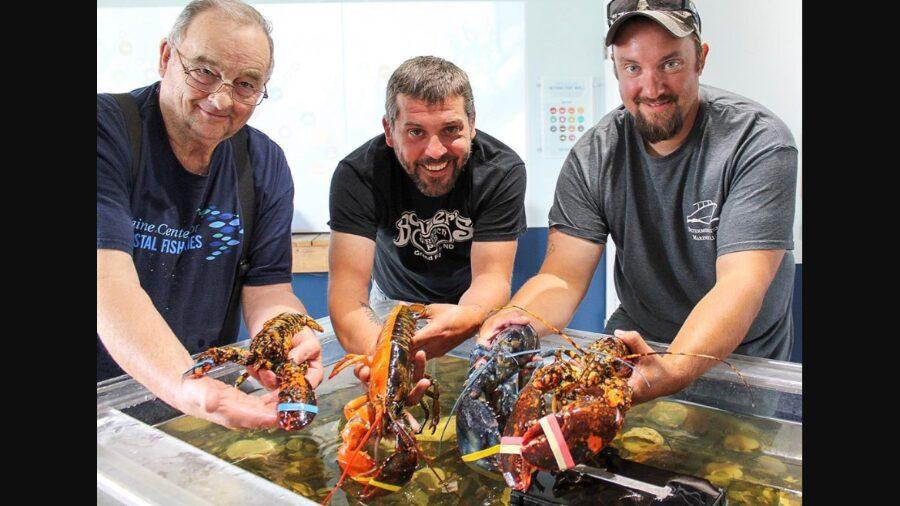 lagosta encontrada no Maine
