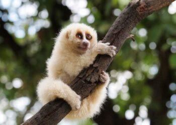 Os lóris lentos de Javan são agora uma das seis espécies de mamíferos conhecidas por usar veneno contra indivíduos de sua própria espécie. (Aprisonsan via Wikimedia Commons sob CC BY-SA 4.0 International)