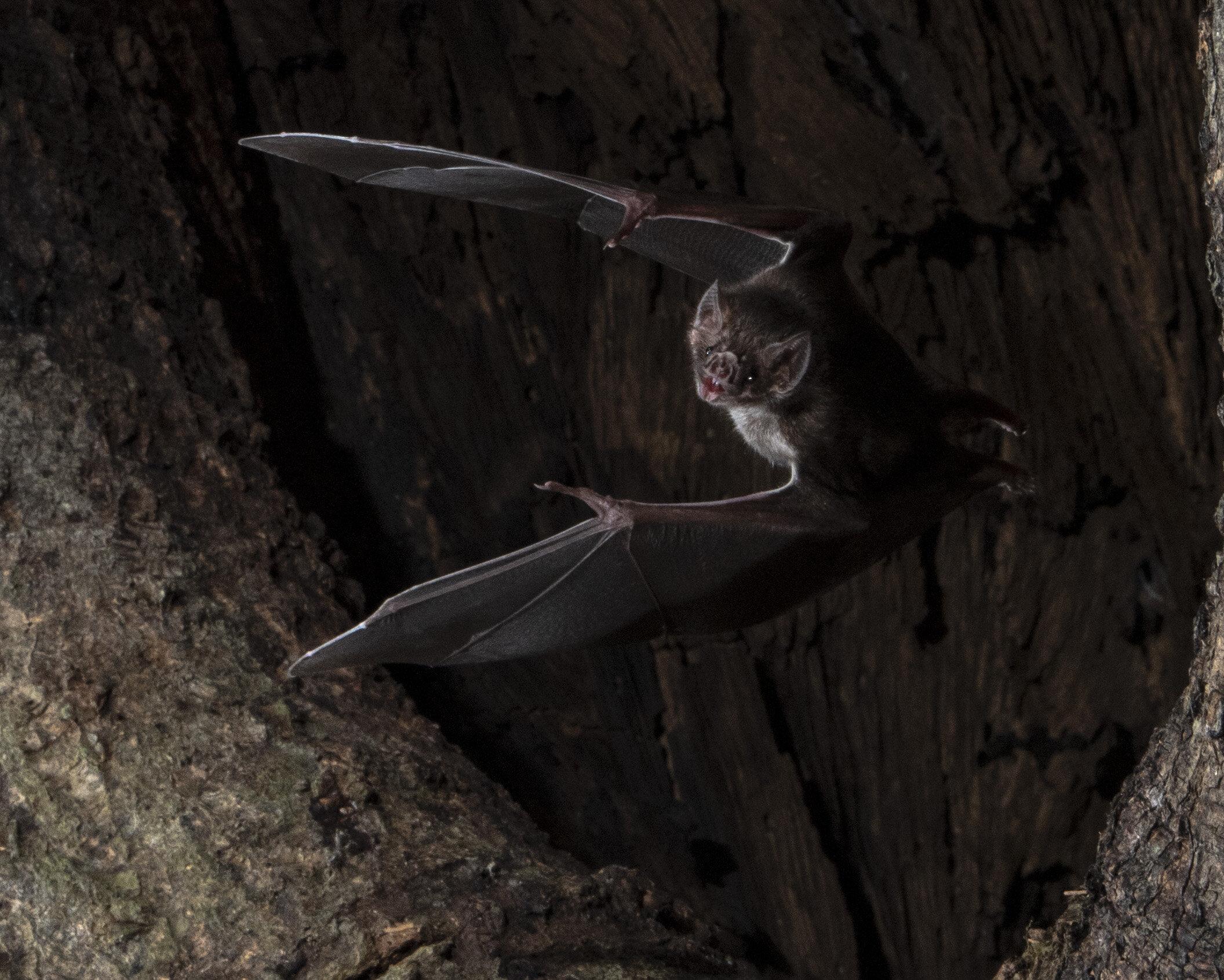 morcego vampiro