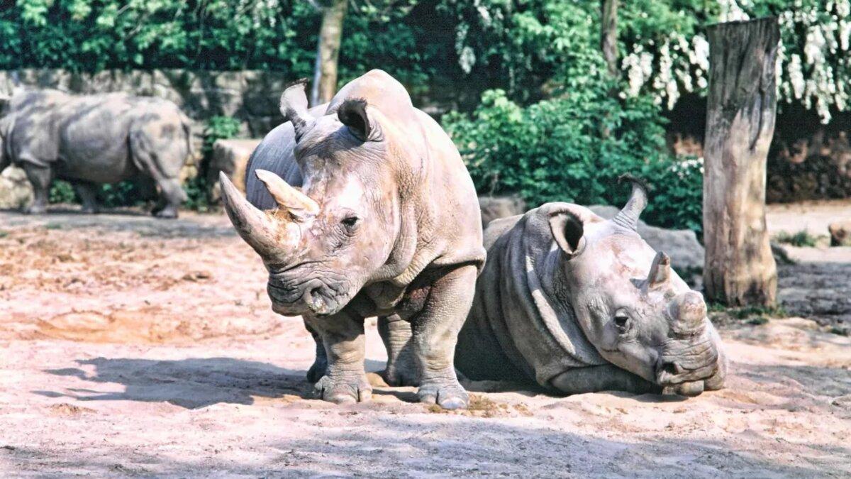 rinocerontes brancos do Norte