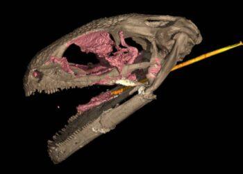 Crânio scaneado de um anfíbio. (EDWARD L. STANLEY / MUSEU DE HISTÓRIA NATURAL DA FLÓRIDA, VG-STUDIOMAX)
