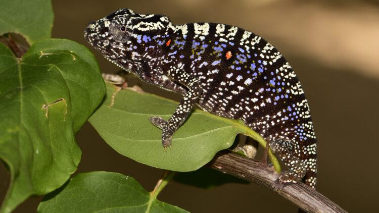 Após mais de 100 anos, a espécie de camaleão Furcifer voeltzkowi foi observada na natureza. (Imagem: © Kathrin Glaw)