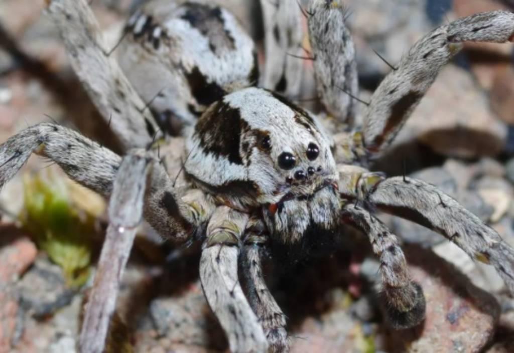 Aranha-lobo considerada extinta