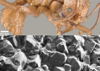 Cientistas descobriram os primeiros insetos com armaduras de biominerais. (Li et al., Nature Communications, 2020)