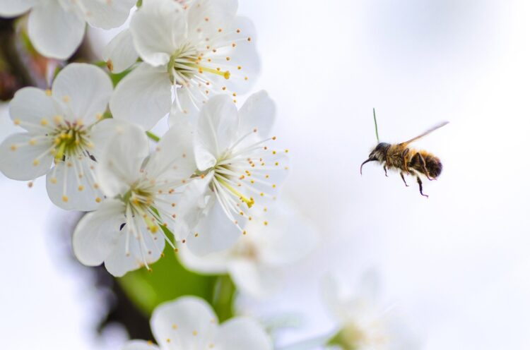 Estudos recentes indicam que abelhas podem fazer manobras para desviar de obstáculos complexos. (Imagem de Goumbik por Pixabay)