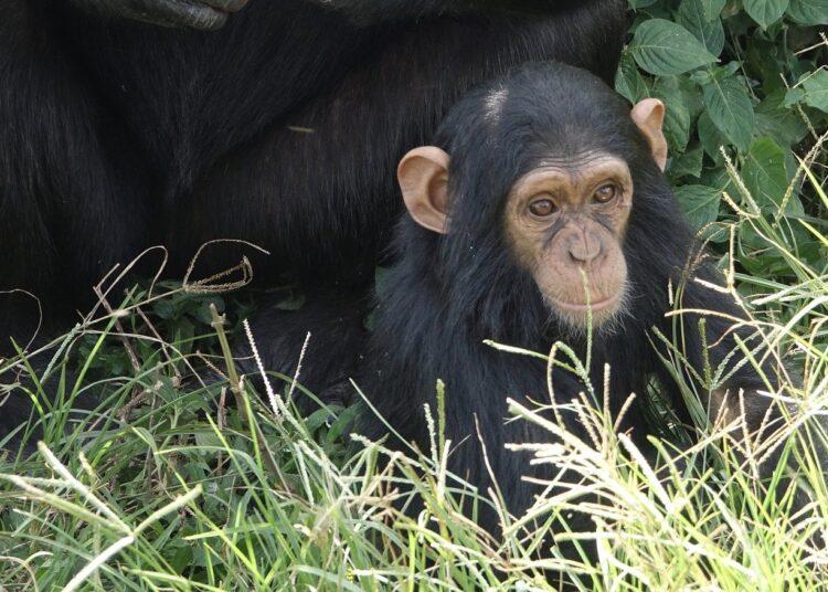 Última fêmea fértil dos macacos de Guiné deu à luz