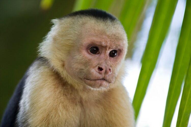 No dia 09 de abril de 2019 pesquisadores observaram comportamento canibaal em uma população de macacos capuchinhos da Costa Rica. (Imagem de Domenic Hoffmann por Pixabay)