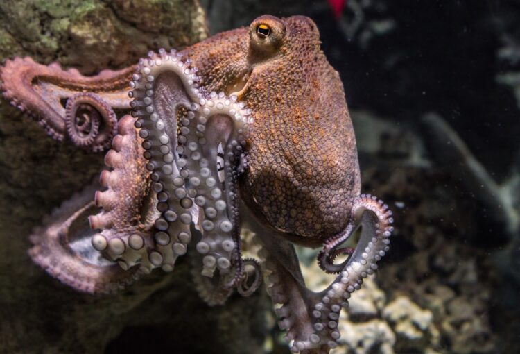 Os polvos têm habilidades excelentes de camuflagem, três corações, bicos venenosos e, além do mais, tentáculos com vontade própria. (Image by edmondlafoto from Pixabay)