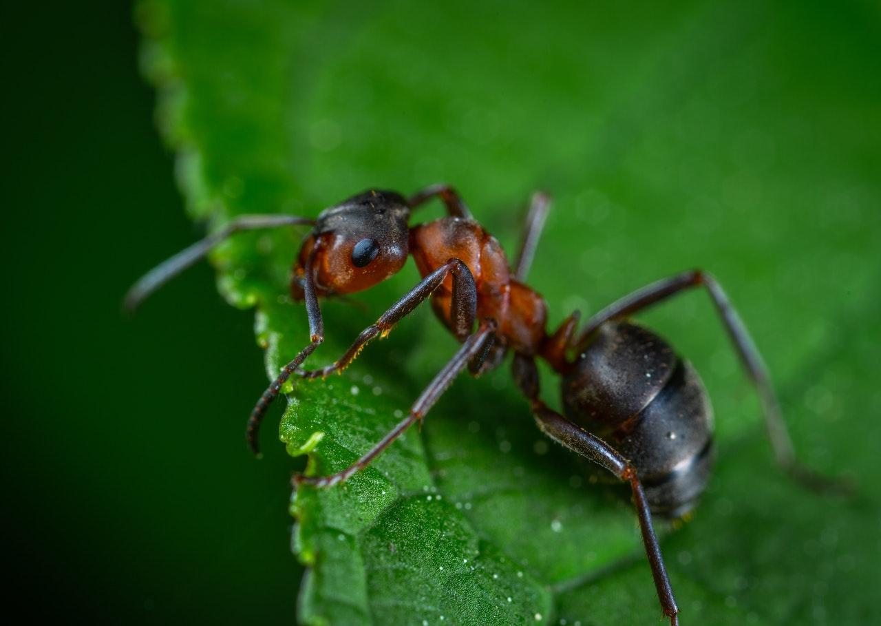 Formigas utilizam seus ácidos