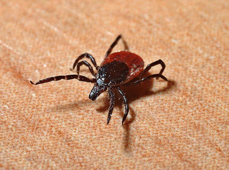 Os carrapatos podem ser vetores de doenças tão perigosos quanto os mosquitos. (Imagem de Jerzy Górecki por Pixabay)