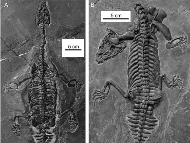 Cientistas chineses descobriram uma nova espécie de nothossauro em miniatura. (Imagem por Qing-Hua Shang, Xiao-Chun Wu and Chun Li / Journal of Vertebrate Paleontology (Qing-Hua Shang, Xiao-Chun Wu and Chun Li / Journal of Vertebrate Paleontology)