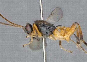 vespa parasita