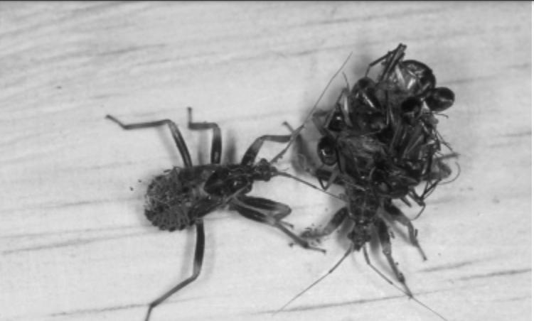 Esses percevejos usam suas vítimas como uma forma de escapar de predadores - de uma forma bem estranha. (R. R. Jackson)