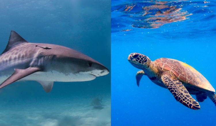 Esse vídeo mostra cenas inéditas de uma tartaruga-marinha contra-atacando a investida de um tubarão-tigre.