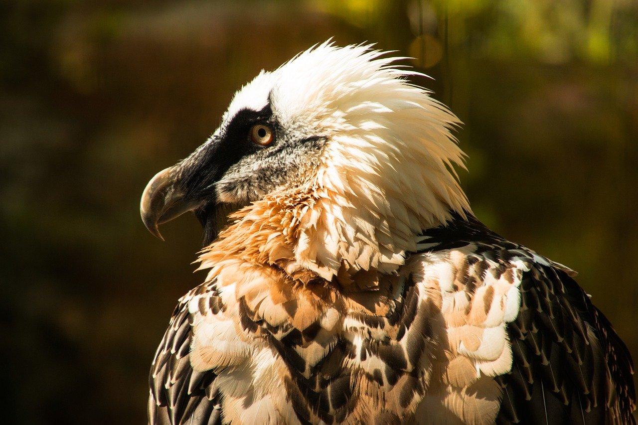 abutre barbudo