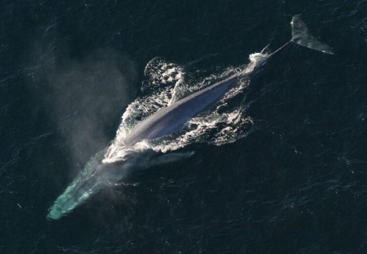 Pesquisadores identificaram o canto de uma nova população de baleias-azuis no Oceano Índico. (Imagem de janeb13 por Pixabay)