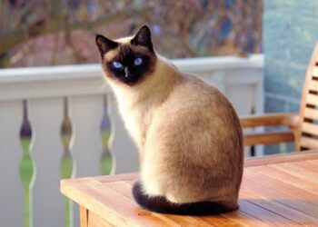 Um gato siamês.(Imagem de Andreas Lischka do Pixabay)
