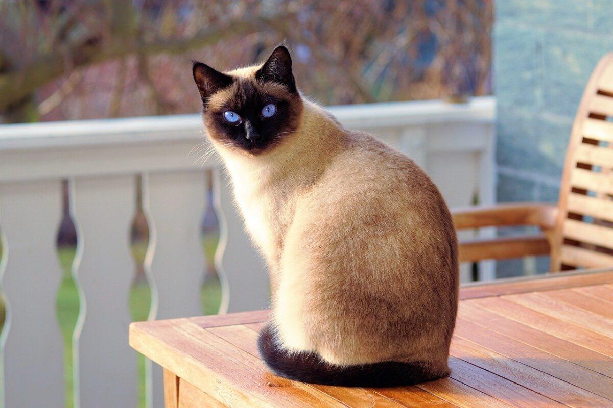 Conheça as raças de gatos mais inteligentes do mundo – SoCientífica