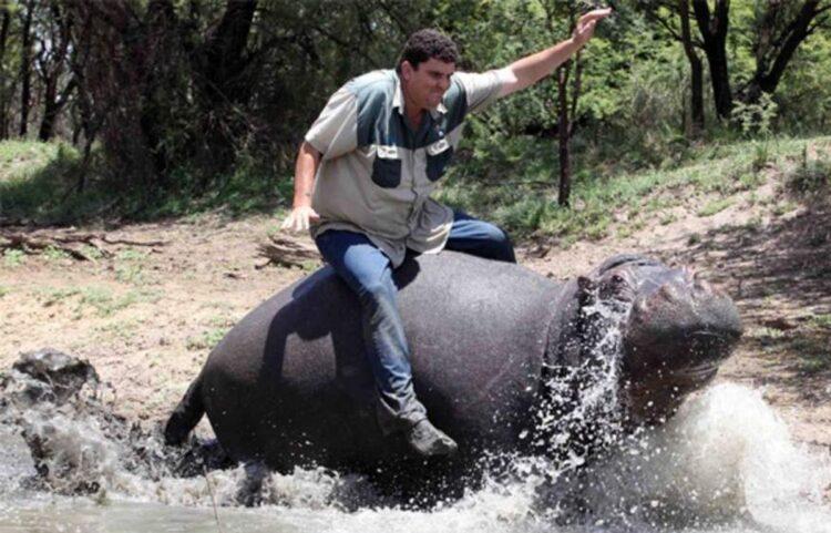 hipopótamo de estimação galopa com o dono