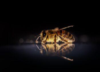 Pesquisadores observaram o primeiro caso de abelhas usando ferramentas - um pouco nojentas - para defender seus ninhos. (Imagem de David Hablützel por Pixabay)