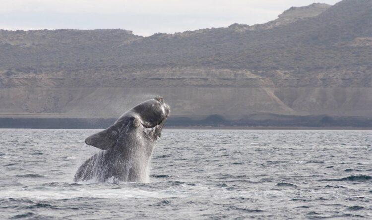 Dois filhotes da espécie de baleia mais ameaçada do mundo foram observadas na costa dos Estados Unidos (Imagem de shomilin por Pixabay)