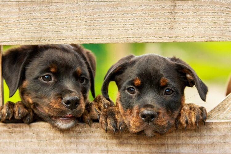 Estudos indicam que os cães podem nunca aprender de fato a linguagem humana. (Imagem de kim_hester por Pixabay)