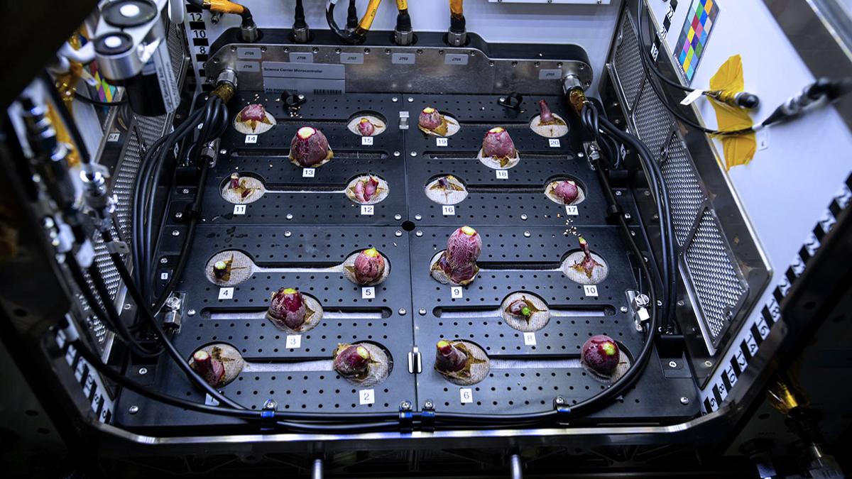 Astronautas comeram os rabanetes que foram cultivados no espaço