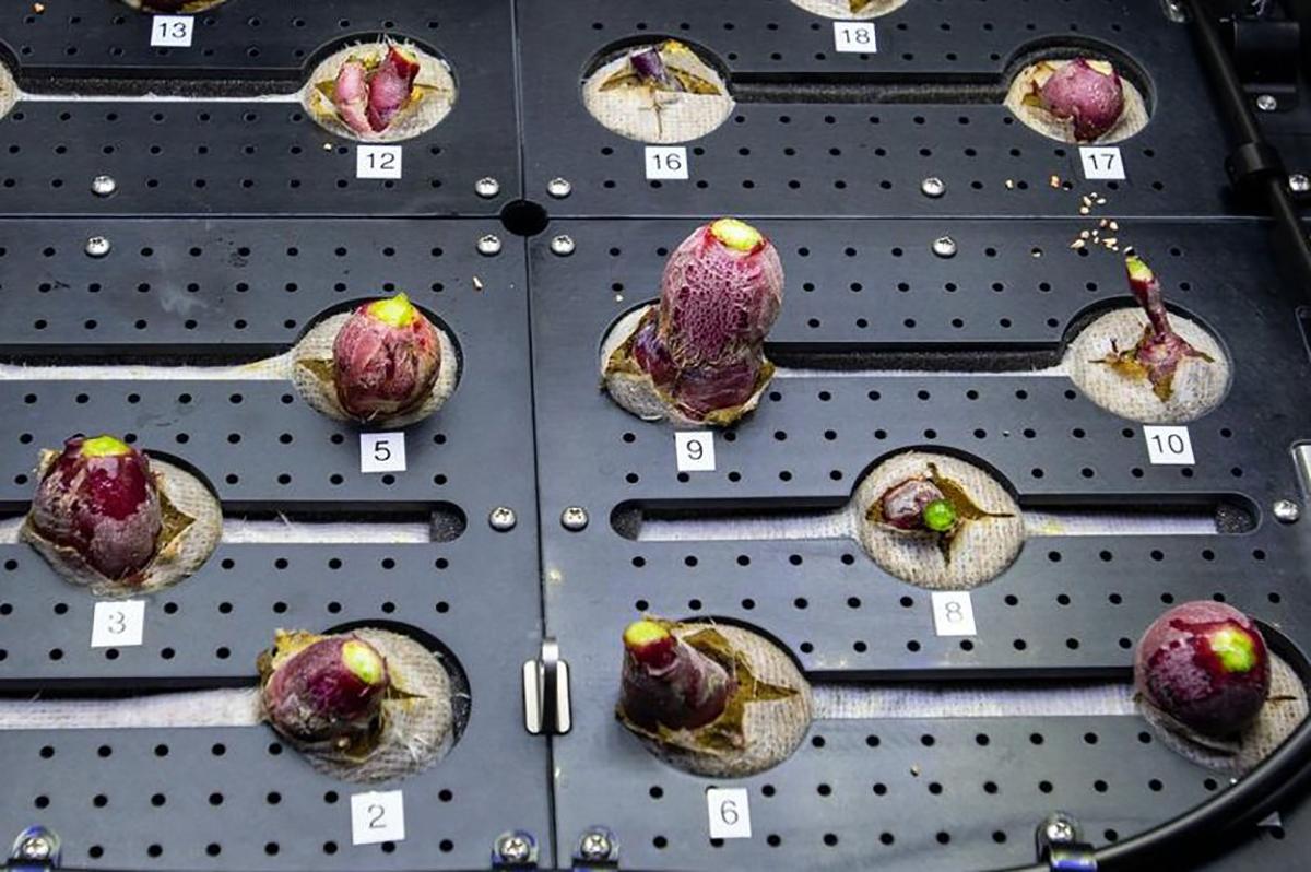 Astronautas comeram rabanetes cultivados no espaço