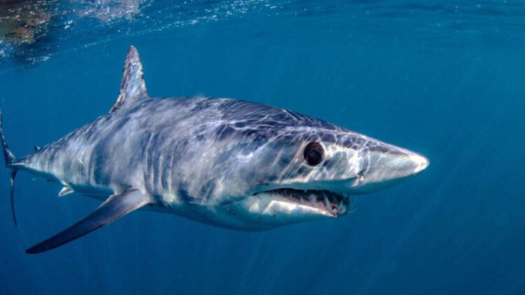 Enguias foram flagradas vivendo dentro de tubarões