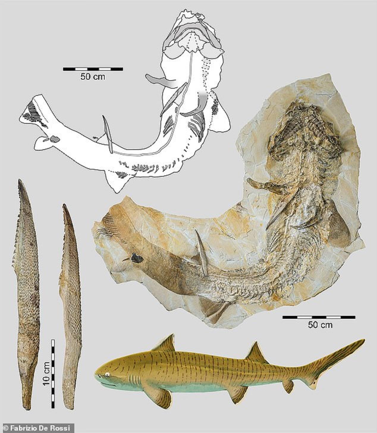 Esqueleto quase completo do tubarão hipodontiforme Asteracanthus