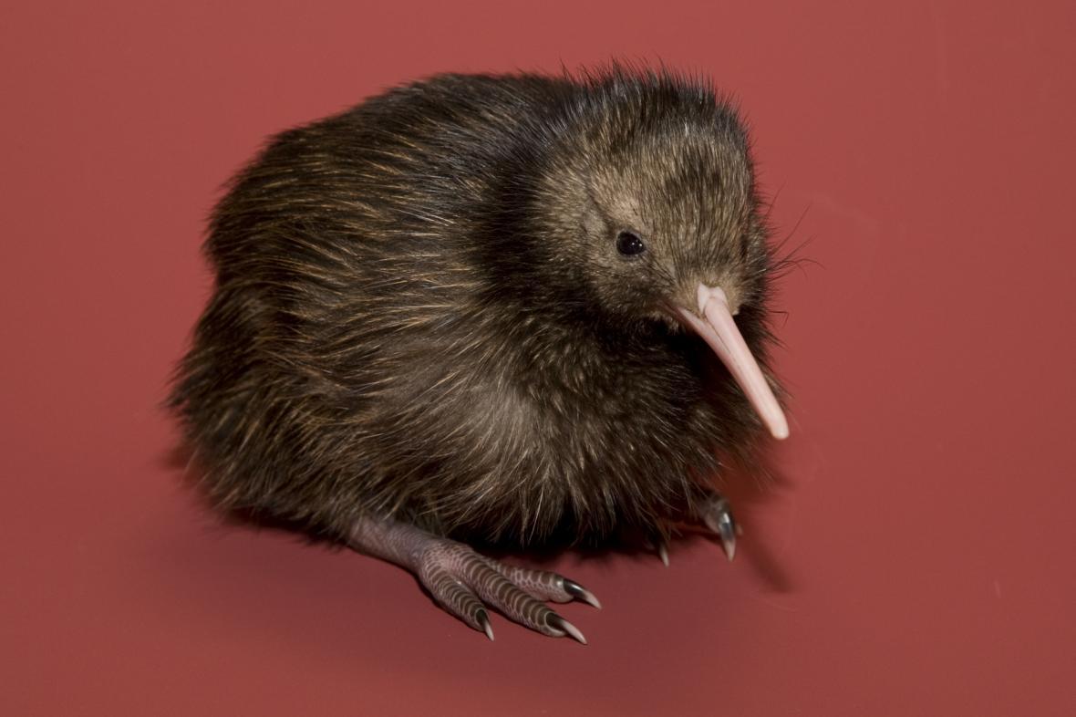 Filhote de kiwi