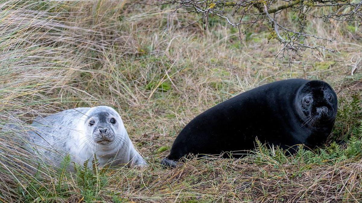 Filhotes de foca melanísticos