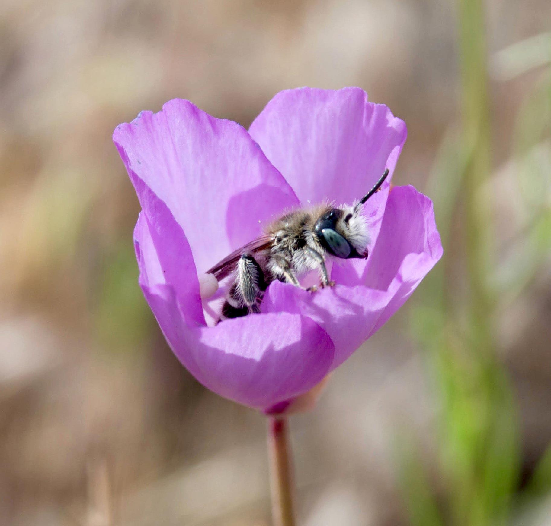 Uma abelha Hesperapis regularis visita uma flor de Clarkia cylindrica no Parque Nacional de Pinnacles. (Foto de Tania Jogesh )