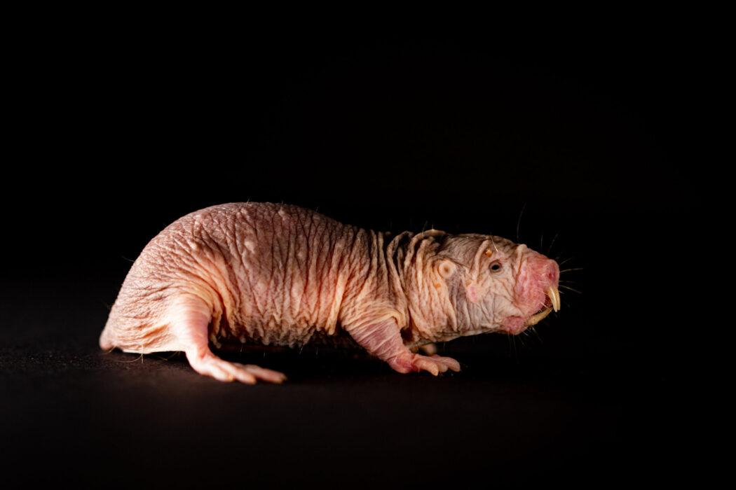 Ratos-toupeira-pelados e seus dialetos variados